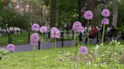 Allium flowers in Washington Square Park in Spring in 1080 HD and 4K NYC