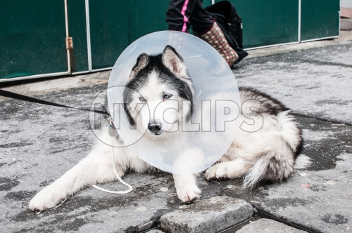 dog with E-Collar on cold winter street