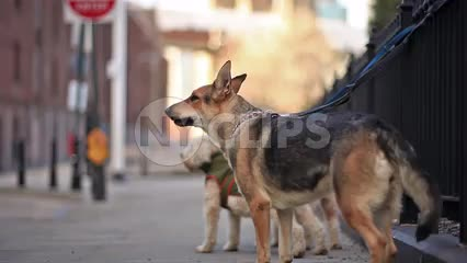 German Shepherd barking - dog very cold in winter - Brooklyn