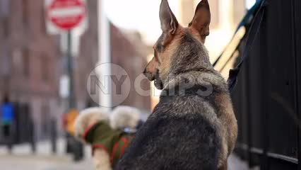German Shepherd in cold winter - Brooklyn dogs leashes tied to park fence outside