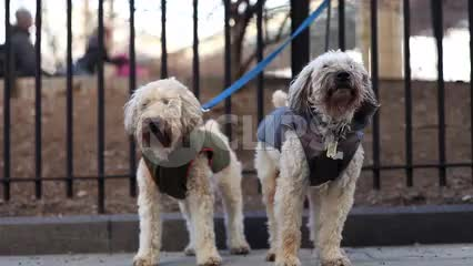 Poodles howling in cold winter - little dogs tied to park bars by leashes