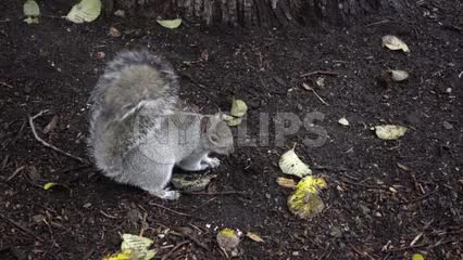 squirrel looking up and shaking off head in dirt