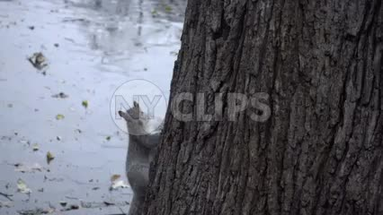 squirrel running up tree in Washington Square Park - rainy - wet fall day in slow motion