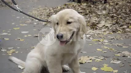 cute Golden Retriever on leash in park on fall day with leaves on ground