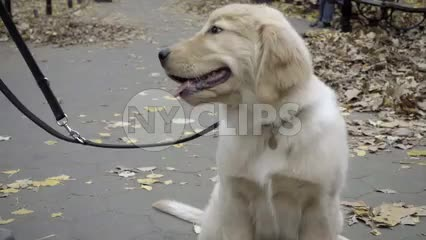 adorable fluffy white Golden Retriever - cute dog on leash looking up at owner