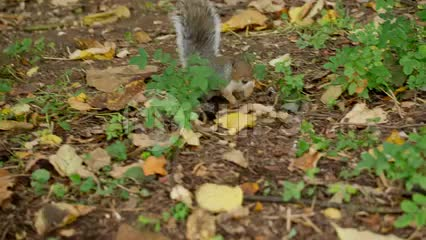 closeup on squirrel searching for a nut