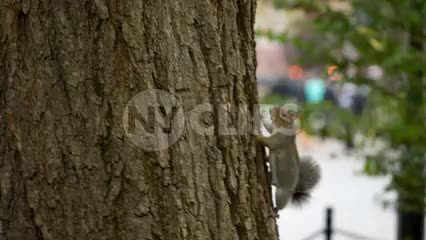 squirrel climbing tree in summer twitching tail in Park in NYC