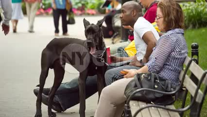 Doberman Pinscher dog with owner on park bench on summer day in NYC