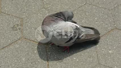 pigeon cleaning itself on bright sunny day - closeup on bird on street