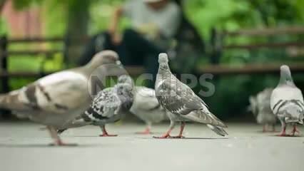 pigeons on the ground in summer with Washington Square Park benches in background in NYC