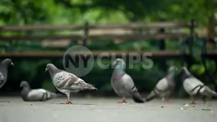 pigeon pecking and cleaning himself - nibbling at own tail with park benches in NYC