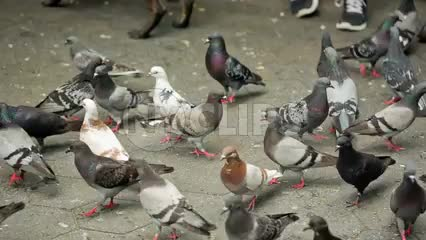 flock of pigeons - flocking to breadcrumbs on ground in park in NYC