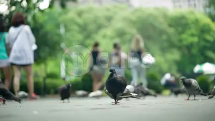 low angle of pigeons on ground - birds cleaning themselves on summer day in Washington Square Park in NYC