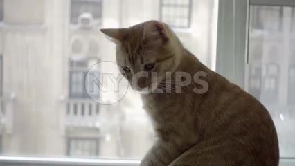 orange tabby cat on window sill with view of Manhattan buildings in background in NYC