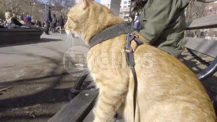 cat on harness and leash on Washington Square Park bench with arch in background in NYC