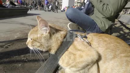 cat on leash and harness in Washington Square Park - orange tabby kitten sitting on bench in fall or winter in New York City NYC