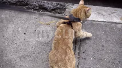 orange tabby cat with harness on leash walking in street - kitten being walked
