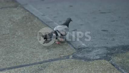 pigeon walking onto sidewalk in New York City street in slow motion