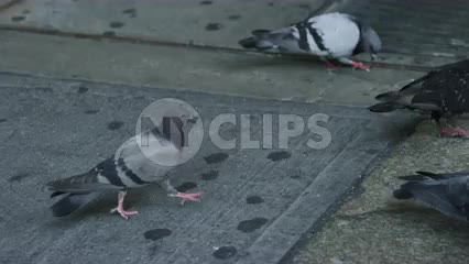 pigeons flapping wings on street grating - dirty birds on ground in city - slow motion