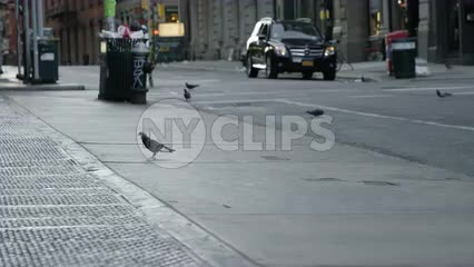 pigeon on quiet lonely street in SoHo with more pigeons in background by trash can in early morning
