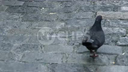 pigeon walking on cobblestone street, bird in 4K slow motion