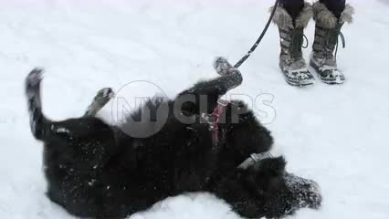 black dog rolling around in snow in slow motion in Washington Square Park during snow storm blizzard snowing in winter
