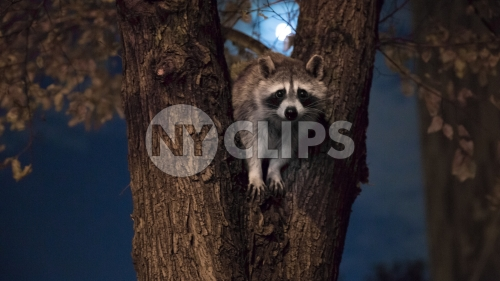 raccoon in tree off Central Park West at night with full moon in NYC