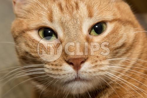 Tabby closeup face