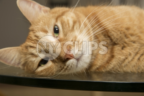sleepy tabby cat - orange striped cat laying down - closeup
