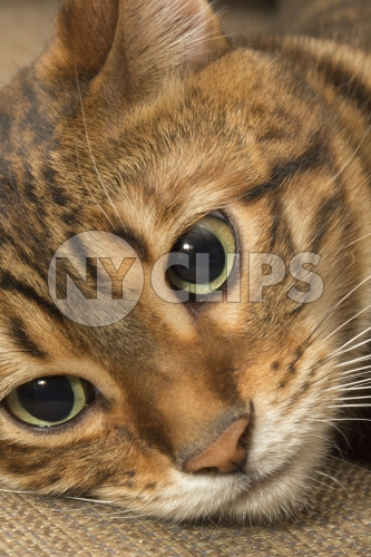 Toyger cat with stripes - closeup of face