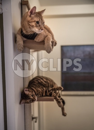 cats hanging out on shelves - orange tabby and striped toyger interior