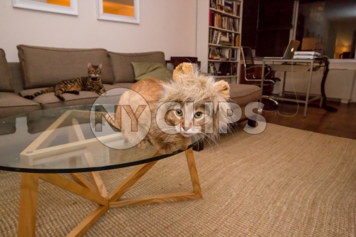 Tabby cat with lion costume