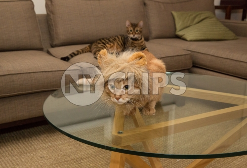 lion costume on orange tabby cat with toyger in background on couch