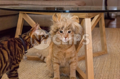 cats playing with costume - lion and tiger domestic pets