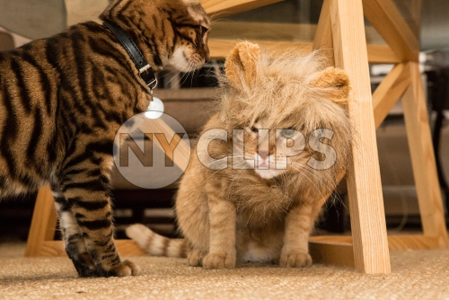 Toyger and lion costume cats